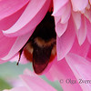 <p>Bumblebee inside the dahlia.</p>