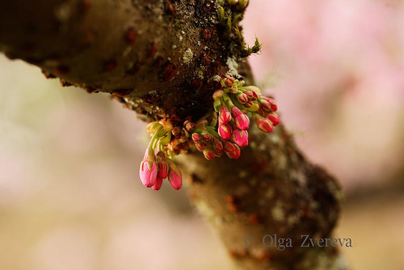 <p>Cherry Blossom. Washington Park Arboretum, Seattle, Washington, USA</p>