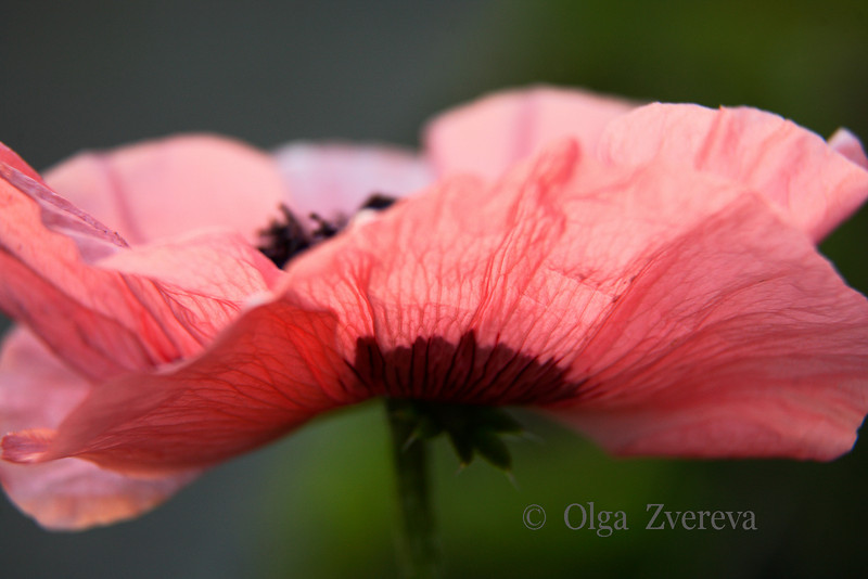 <p>Pink Poppy</p>