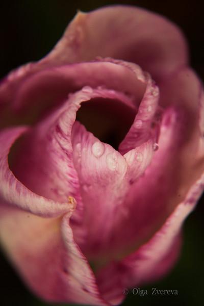 <p>Tulip</p>