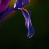 <p>Iris</p>
