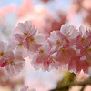 <p>Cherry Blossom. Washington Park Arboretum, Seattle, Washington, USA</p>
