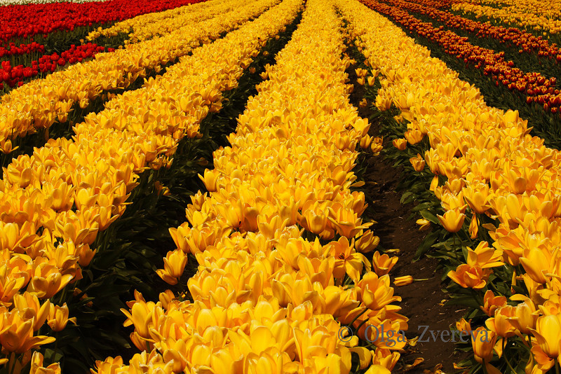 <p>Tulip field at Skagit Valley, Washington, USA</p>