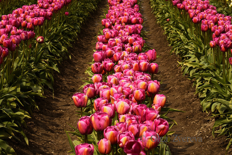 <p>Pink Lines. Tulip field at Skagit Valley, Washington, USA</p>