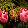 <p>Tulips</p>