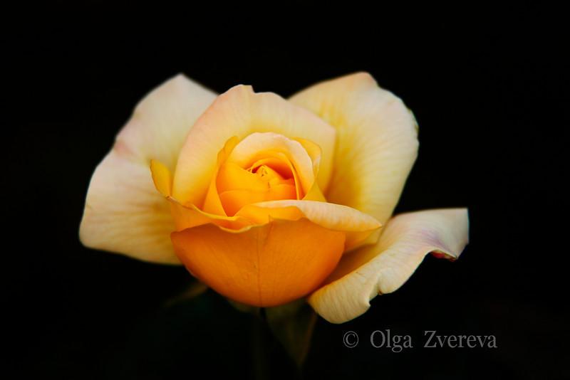 <p>Rose</p>