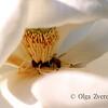 <p>Magnolia</p>
