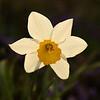 <p>Sunny Daffodil</p>