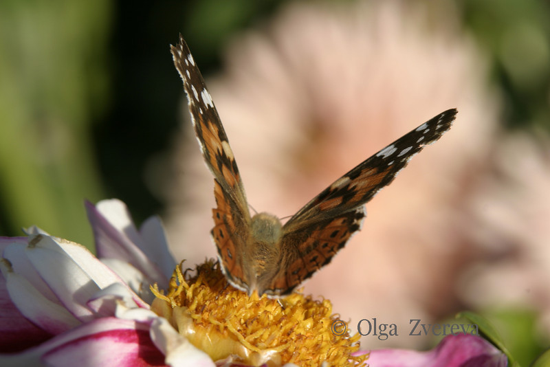 <p>Butterfly on the dahlia flower.</p>