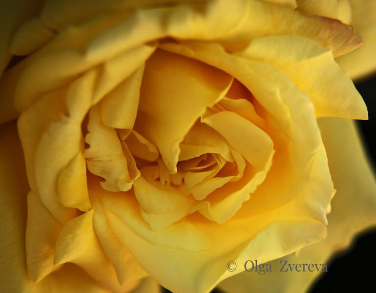 <p>Yellow Rose</p>