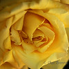 <p>Yellow Rose</p>