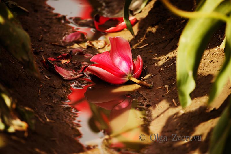 <p>Still Pretty. Tulip field at Skagit Valley, Washington, USA</p>