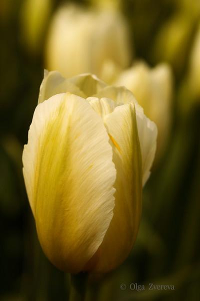 <p>Tulip, Skagit Valley, Washington, USA</p>