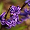 <p>Hyacinth</p>