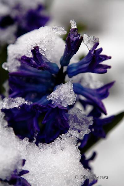 <p>Snow Beauty</p>
