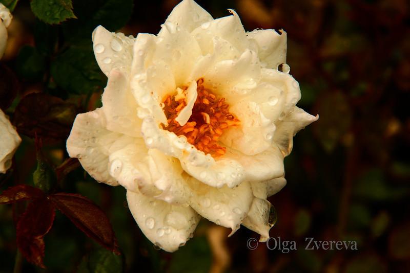 <p>Wet Rose</p>
