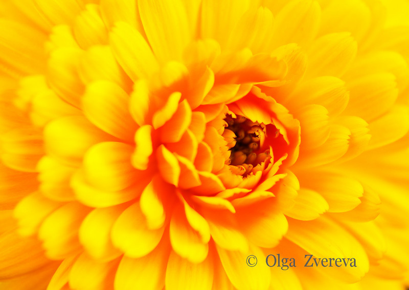 <p>Yellow beauty</p>