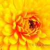 <p>Yellow beauty</p>