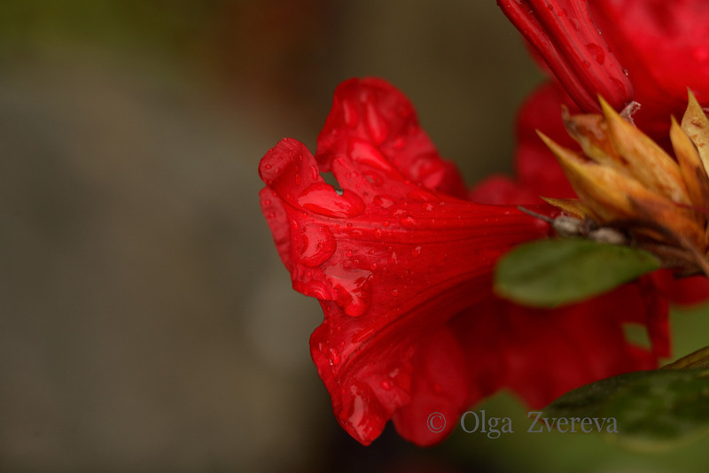 <p>After the rain. Rhododendron.</p>
