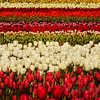 <p>Tulips at Skagit Valley, Washington, USA</p> <p>Skagit Valley comes alive with brilliant color each spring. Acres and acres of daffodils, tulips, irises, and lilies entice visitors to the towns of La Conner and Mount Vernon.</p>