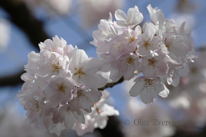 <p>Cherry Blossom</p>
