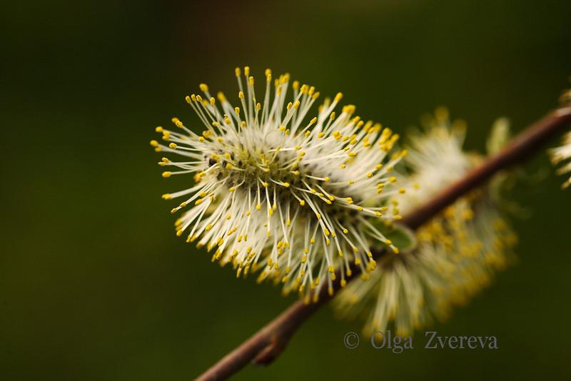 <p>Willow tree catkins</p>