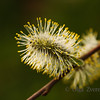 <p>Willow tree catkins</p>