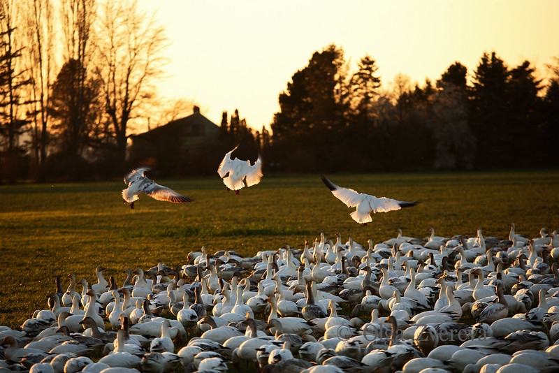 <p>Landing. Snow geese. Skagit Valley, Washington, USA</p> <p>February 20, 2010</p>