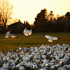 <p>Landing. Snow geese. Skagit Valley, Washington, USA</p> <p>February 20, 2010</p>