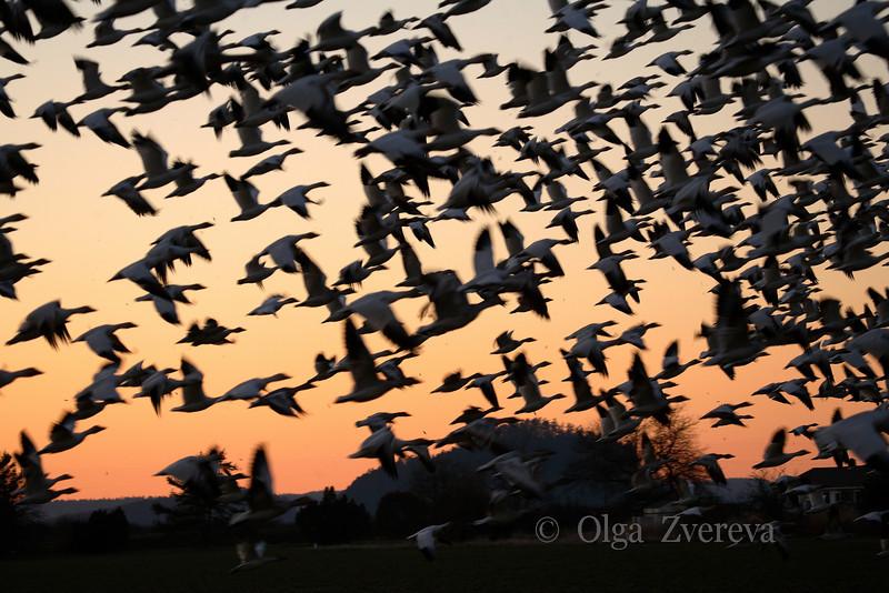 <p>Snow geese. Skagit Valley, Washington, USA</p> <p>February 20, 2010</p>