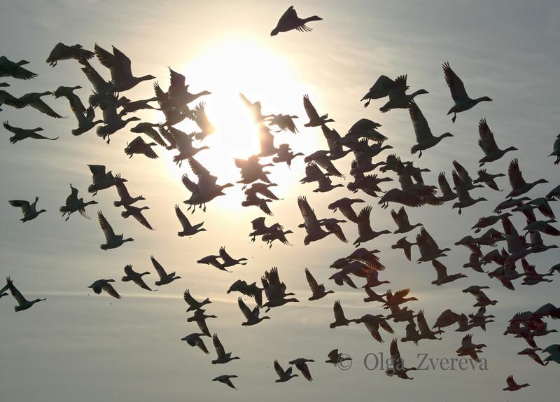 <p>Snow geese. Skagit Valley, Washington, USA</p> <p>April 8, 2011</p>
