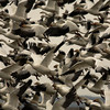<p>Snow geese. Skagit Valley, Washington, USA</p> <p>January 25, 2009</p>