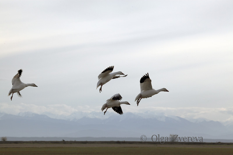 <p>Snow geese. Skagit Valley, Washington, USA</p> <p>April 8, 2011</p>