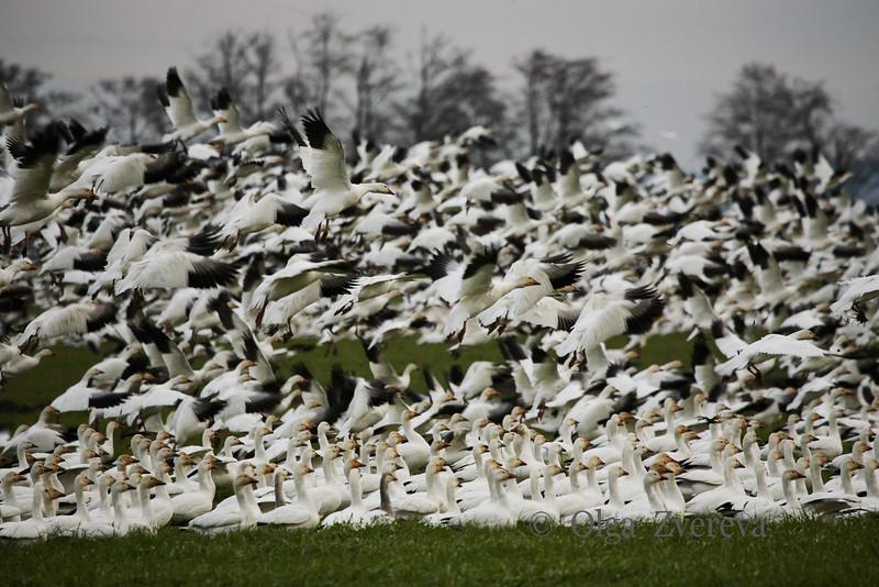 <p>Snow geese. Skagit Valley, Washington, USA</p> <p>January 24, 2009</p>