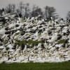 <p>Snow geese. Skagit Valley, Washington, USA</p> <p>January 24, 2009</p>