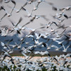 <p>Snow geese. Skagit Valley, Washington, USA</p> <p>November 28, 2008</p>