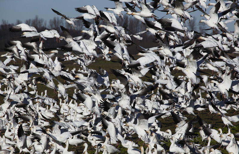 <p>Snow geese. Skagit Valley, Washington, USA</p> <p>February 5, 2012</p>