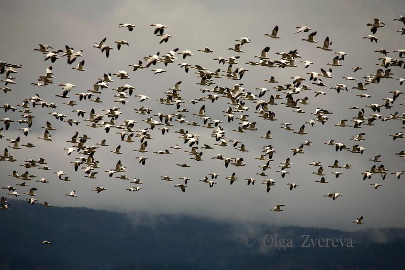 <p>Snow geese. Skagit Valley, Washington, USA</p> <p>January 30, 2010</p>
