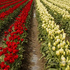 <p>Red and White. Tulip field at Skagit Valley, Washington, USA</p>
