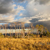 <p>Aspens in storm light, Scenic Byway 12, Utah, USA</p>