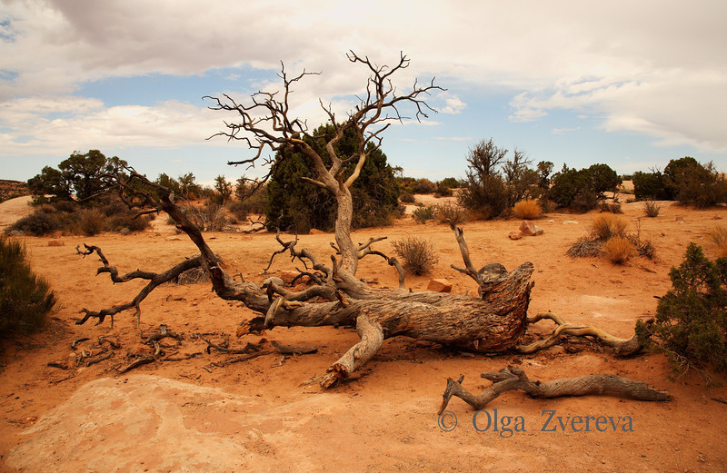 <p>Dead tree, Arches National Park, Utah, USA</p>