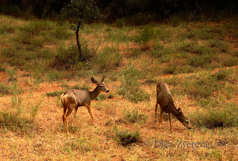 <p>Deers, Zion National Park, Utah, USA</p>
