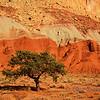 <p>Pine Tree, Capitol Reef National Park, Utah, USA</p>