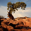 <p>The tree, Dead Horse Point State Park, Utah, USA</p>