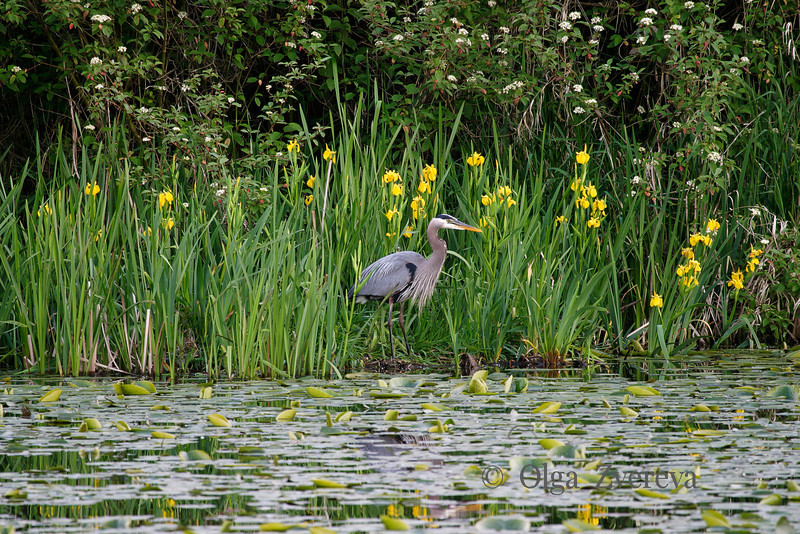 <p>Blue Heron. Lake Washington, Kirkland, Washington, USA</p>