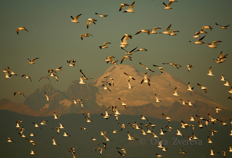 <p>Bird flock. Skagit Valley, Washington, USA</p> <p>Mount Baker is on background.</p>