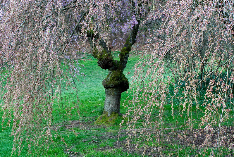 <p>Cherry Blossom at Washington Park Arboretum, Seattle, Washington, USA</p>