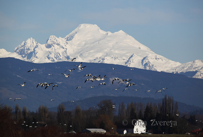 <p>Mount Baker view frin Skagit Valley, Washington, USA</p>