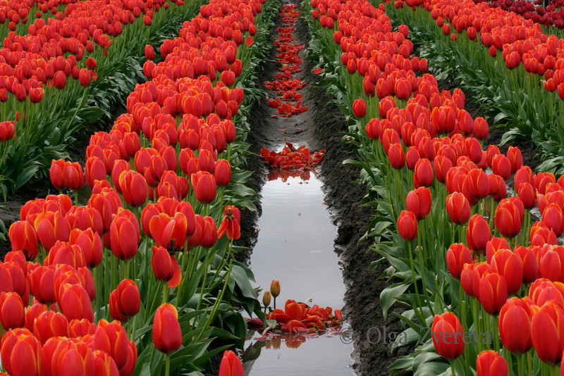 <p>Tulip field at Skagit Valley, Washington, USA</p> <p>Every spring, the Skagit Valley comes alive with the colors of tulips. Fields of yellow, red, orange, and white greet visitors as they drive through the valley from the end of March to the middle of April.</p>