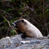<p>Marmot, Mount Rainier National Park, Washington, USA</p>